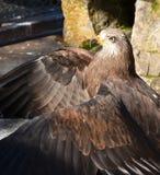 Adler mit ausgebreiteten Flügeln Lizenzfreies Stockfoto