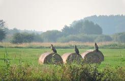 Adler mit drei Jungen, Litauen Stockbild