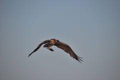 Adler mit einem Fisch Lizenzfreie Stockbilder