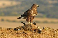 Adler mit einem freien Stockfotos
