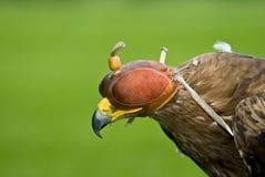 Adler mit einer ledernen Schutzkappe Lizenzfreies Stockfoto