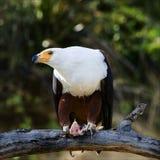 Adler mit Extraktion. Stockfotografie