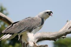 Adler mit geöffnetem Mund Lizenzfreie Stockfotografie