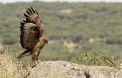 Adler mit geöffneten Flügeln Stockfotos