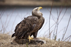 Adler mit Hasen Lizenzfreies Stockbild