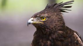 Adler mit Haube Lizenzfreie Stockfotos