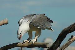 Adler mit ihm ist Opfer Stockfotografie