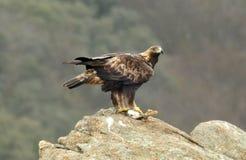 Adler mit Opfer auf Felsen Lizenzfreies Stockfoto