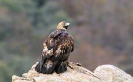 Adler mit seinem Opfer beobachtet vom Felsen Lizenzfreie Stockfotografie