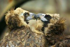 Adler mit zwei Liebhabern Lizenzfreies Stockfoto