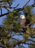 Adler oben in einem Baum. Stockbild