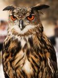 Adler oder gehörnte Eule Lizenzfreie Stockbilder