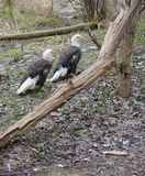 Adler-Paare Lizenzfreies Stockbild