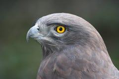 Adler-Portrait Stockfoto
