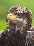 Adler-Portrait Lizenzfreies Stockbild