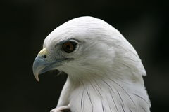 Adler-Profil lizenzfreie stockfotografie