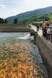 A Tour group of tourists stands near an artificial pond trout farm and feeds the fish. Demonstration rainbow trout breed Amber. Adler, Sochi, Russia - may 04 royalty free stock images