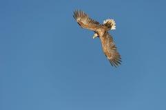 Adler-Tauchen Stockbilder