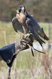 Adler und Zufuhr Stockbild