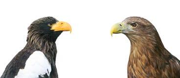 Adler zwei Haupt gegenüber von einander auf weißem Hintergrund Stockbild