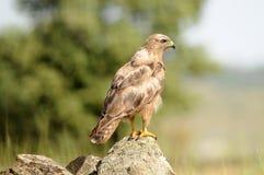 Adlerbeobachter Lizenzfreies Stockbild