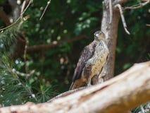 Adlerbussard sitzt auf einem Baum Lizenzfreies Stockbild