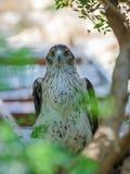 Adlerbussard sitzt auf einem Baum Stockfotos