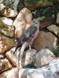 Adlerbussard sitzt auf einem Felsen Stockfotografie
