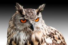 Adlereule gegen dunklen Himmel Lizenzfreie Stockfotos