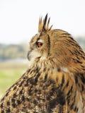 Adlereulenvogel Lizenzfreies Stockbild