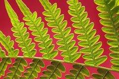 Adlerfarn Fern Leaf Stockfotografie
