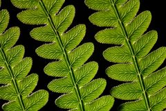Adlerfarn Fern Leaf Lizenzfreie Stockfotos