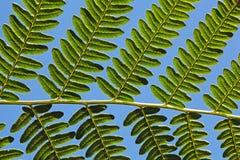 Adlerfarn Fern Leaf Lizenzfreies Stockbild