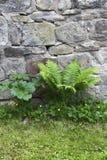 Adlerfarn gegen eine alte Wand Stockbilder