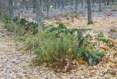 Adlerfarn am Herbst Lizenzfreies Stockbild