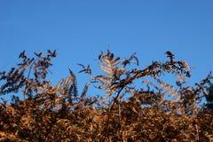 Adlerfarn im Herbst Lizenzfreie Stockfotografie
