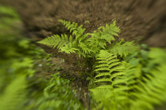 Adlerfarn im Wald Stockfotos