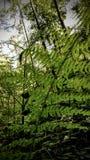 Adlerfarn im Wald Stockbilder