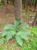 Adlerfarn im Wald als Plätzchen für Augen in der Natur Lizenzfreies Stockbild