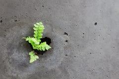 Adlerfarn klein, keimend und wachsen mit Tau heraus Der Abstand von Th Lizenzfreies Stockfoto