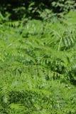 Adlerfarn- oder Brems- oder Adlerfarnblätter Lizenzfreies Stockfoto