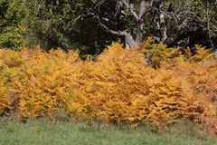 Adlerfarn- oder Brems- oder Adlerfarn im Herbst Stockfotografie