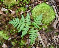 Adlerfarnblatt und -moose auf Waldboden Stockfotografie