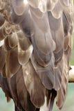 Adlerfedern. Stockfotografie