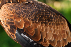 Adlerflügel Stockfotos