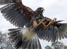 Adlerflugwesen Stockfotografie