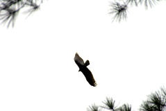 Adlerflugwesen im weißen Himmel Stockbilder