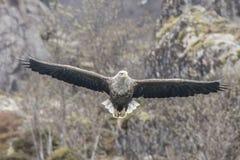 Adlerjagd des weißen Schwanzes Lizenzfreies Stockbild