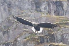 Adlerjagd des weißen Schwanzes für Fische Lizenzfreie Stockfotos