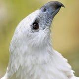 Adlernahaufnahme Stockfoto